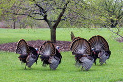 Wild turkey. In spring forest. Nature of Midwest USA, Wisconsin. Thanksgiving bird symbol Stock Photography