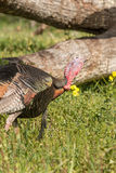 Wild Turkey in Spring Royalty Free Stock Photo