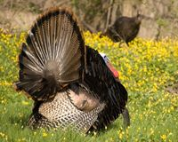 Wild Turkey Strutting Royalty Free Stock Photography