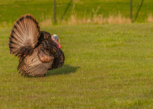 Wild Turkey Stock Photography