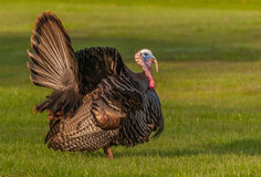 Wild Turkey. Strutting for a mate in the spring mating season Stock Images