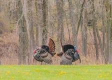 Wild Turkey Stock Photography