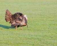 Wild Turkey Royalty Free Stock Photos