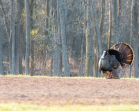 Wild Turkey. Strutting for a mate in the spring mating season Stock Image