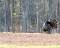 Wild Turkey Stock Image