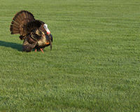 Wild Turkey. Strutting for a mate in the spring mating season Royalty Free Stock Photo