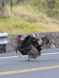 Wild Turkey. A Wild Turkey strutting in the middle of the road in Hawaii stock photography