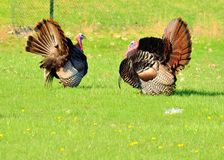 Wild Turkey. Strutting in the spring mating season for a female royalty free stock photography