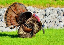 Wild Turkey Stock Images