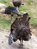 Wild Turkey. Strutting with tail fanned out Royalty Free Stock Images