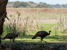 Wild Turkey #1. Wild Turkeys roaming through the forest at Myakka State Park, Florida Royalty Free Stock Photo
