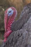 Wild Turkey. Ugly breed of Wild Turkey close up nasty and scary looking Royalty Free Stock Photos