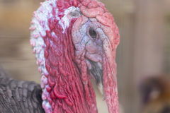 Wild Turkey. Ugly breed of Wild Turkey close up nasty and scary looking Royalty Free Stock Photo