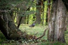 Wild Turkey In Oak Forest. Wild turkey walking around forest in Autumn. Galliformes Phasianidae Royalty Free Stock Photos