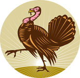 Wild turkey walking side Stock Photos