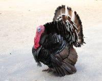 Wild turkey walks with a flowing tail. Wild turkey walks with a flowing tail stock photography