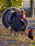 Wild Turkey with wheel and little Gallic. In the morning Stock Photo