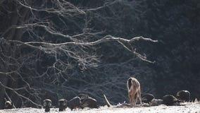 Wild Turkey and White-tailed Deer feeding. Wild Turkey and a White-tailed Deer feeding stock footage