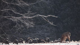 Wild Turkey and White-tailed Deer feeding in snow. Wild Turkey and a White-tailed Deer feeding in snow stock video footage