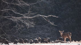 Wild Turkey and White-tailed Deer feeding in winter stock video