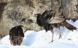 Wild turkey during winter. Wild turkey looking some prehistoric drawing Royalty Free Stock Photo