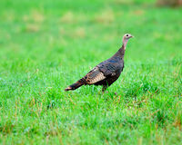 Wild Turkey young bird Stock Photography
