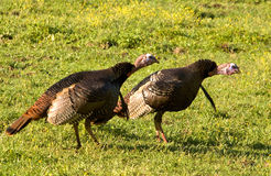 Wild Turkeys. Photograph of a couple of competing Tom Turkeys trying to impress a female in a spring time meadow stock photography