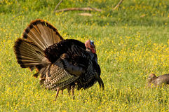 Wild Turkeys. Photograph of a couple of competing Tom Turkeys trying to impress a female in a spring time meadow Royalty Free Stock Photos