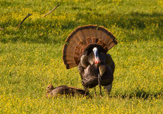 Wild Turkeys. Photograph of a Tom Turkey trying to impress a female in a spring time meadow stock image