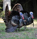 Wild Turkeys Stock Images