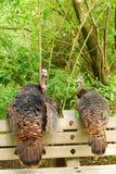 Wild Turkeys Stock Photo