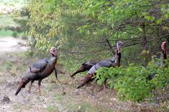 Wild Turkeys Stock Photos