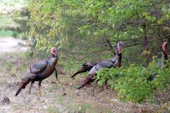 Wild Turkeys. A flock of wild turkeys slipping into the woods Stock Photos