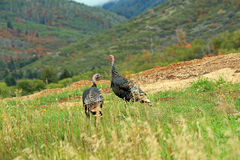 Wild turkeys. Stock Images