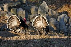 Wild turkeys on in the cage with stones Royalty Free Stock Photography