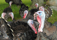 Wild turkeys close up Stock Photo