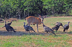 Wild turkeys and deer. Wild turkeys cluster around deer on grassy area stock images