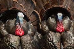Wild Turkeys. On display trying to attract a hen to mate with stock image