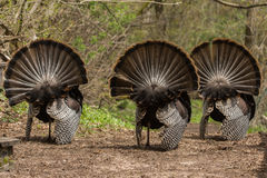 Wild Turkeys. On display trying to attract a hen to mate with stock images