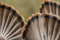 Wild Turkeys. On display trying to attract a hen to mate with royalty free stock photo