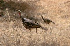 Wild Turkeys in field. Wild male turkey and sibling in tall oat grass field Royalty Free Stock Photos