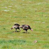 A Rafter of Wild Turkeys Meleagris gallopavo foraging in San D. Wild turkeys foraging in San Diego County, California. Rio Grande wild turkey ranges through stock photos