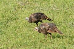 Wild turkeys foraging on a sunny grass field Stock Photography