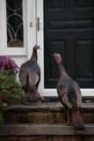 Wild turkeys at front door Royalty Free Stock Images