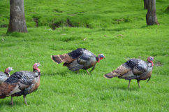 Wild turkeys Stock Photography