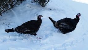 Wild Turkeys 2 Stock Images