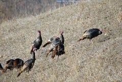 Wild Turkeys on a Hillside Stock Photo