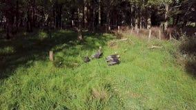 Wild turkeys at Martinborough New Zealand. A video of wild turkeys grazing at Martinborough, New Zealand stock footage