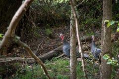 Wild Turkeys in New Zealand Forest. Wild turkey walking around forest in Autumn. Galliformes Phasianidae Royalty Free Stock Image