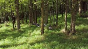 Wild Turkeys In Oak Forest, Late Afternoon New Zealand 4k Footage. Six female wild turkeys in the countryside oak forest in martinborough search for food and stock video